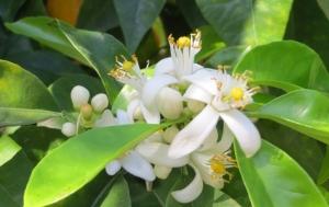 Flor-de-azahar-el-perfume-de-Mayo_1