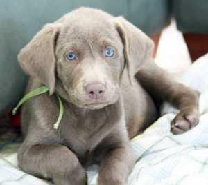 Silver-Labrador-Retriever-puppy